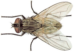 House Fly picture