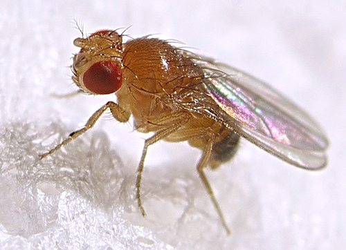 Fruit Fly Information And Pest Control Get Rid Of Fruit
